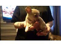Chihuahua pups. 2 bitches