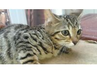 Bengal Kitten, last 1 remaining, looking for his forever home.
