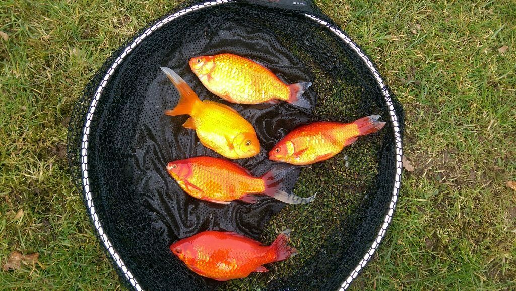 Pond fish very nice large goldfish shubunkins for sale for Large fish ponds for sale
