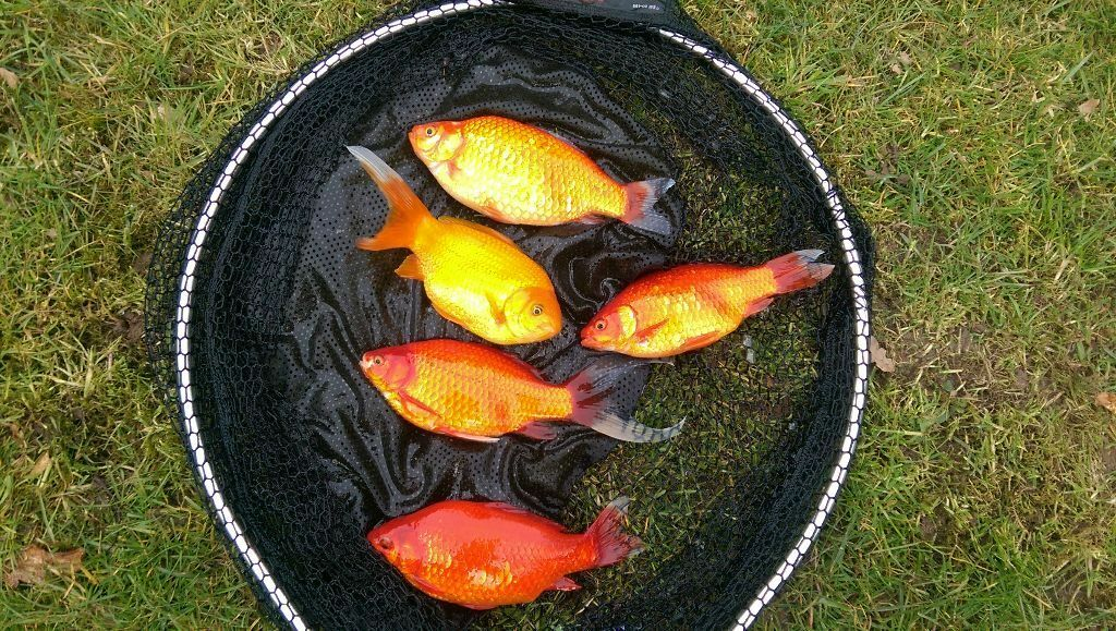 Pond fish very nice large goldfish shubunkins for sale for Garden pond fish for sale