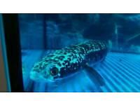 Snakehead Fish Channa Marilius