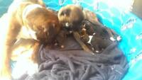 6 super cute boxer/rottie pups looking for new homes!