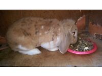 Brown and white male rabbit
