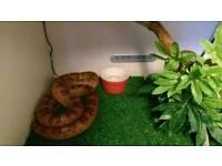 Female corn snake for sale