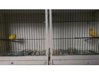 Pair Fife canaries and double breeder cage