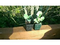 Daubenton's perennial kale plants x2
