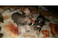 chichuchua pups