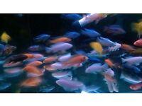 "Mix Malawi Cichlids Tropical Fish 2"" to 3.5"""