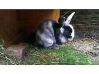 Female rabbit with hutch and run
