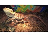 bearded dragons hand tame free to good home