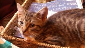 Beautiful male tabby kitten with kitten play centre for sale