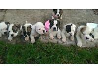 Old tyme bulldog pups for sale 800 chipped and papers