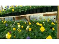Winter/Spring Bedding Plants