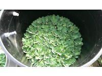 5 water lettuce pistia stratoites floating aquatic plants