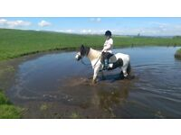 4,5 y.o, 14hh colored cob mare (for sale or full loan)