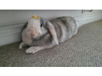 House Rabbit rehoming