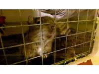 Two friendly, female Degus, with custom-built cage and all accessories. MUST GO THIS WEEK!