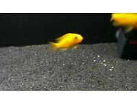 Malawi Cichlids (Mbuna) juveniles for sale