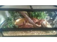 Corn Snake For Sale open to offers full set up