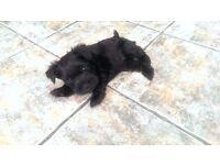 Black Miniature Schnauzer Puppies Pups