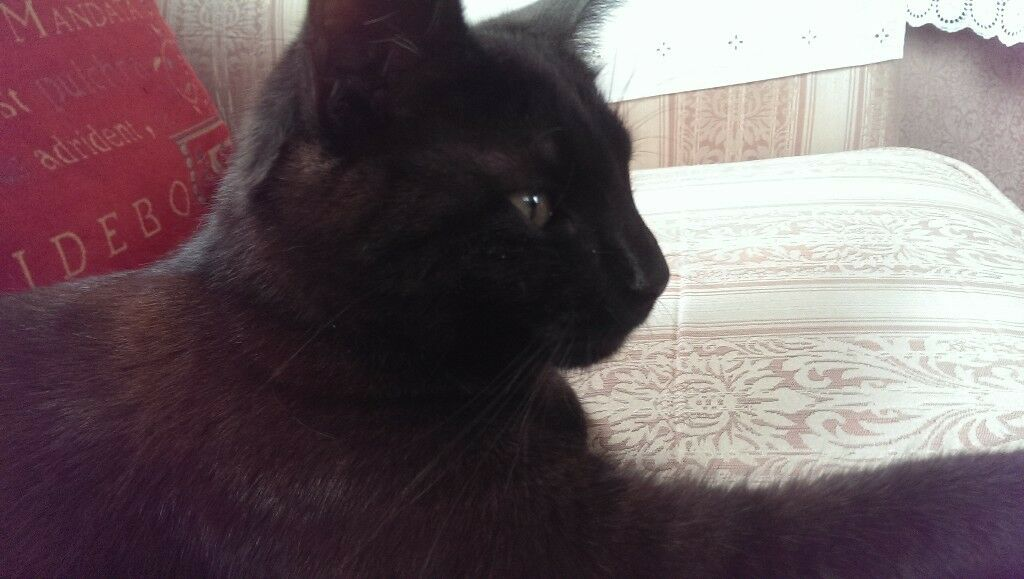 Beautiful Dark Chocolate Brown Male Cat just over 1 year old