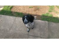 Springer Spaniel Male 14 months old Chipped/Neutered Vaccinated £450