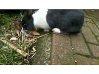 Free free Rabbits must go as a pair and with hutch