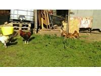 Large Fowl Cockerel. Free to good home.