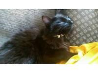 Black half Russian blue cat