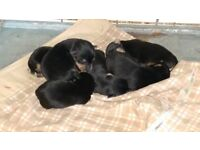 Hi, yorkshire terrier + jack russel pups born 11/09 mum and dad can be seen loveley temp 1 girl left