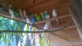 budgies ideal age to tame