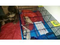 2 Albions Ferrets Females Babies
