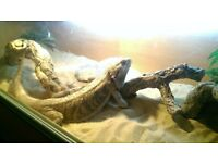 Bearded Dragon and Vivarium for Sale