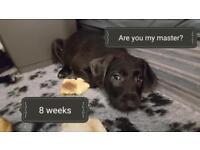 Patterson terrier pups.
