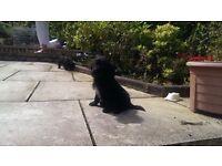 Beagle x mini poodle