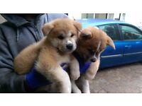 Original breed japanese Akita puppies
