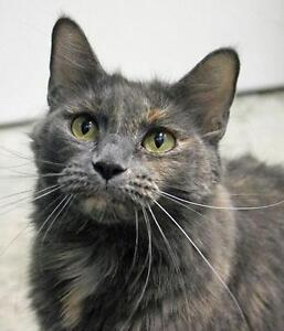 "Adult Female Cat - Domestic Medium Hair-Tortoiseshell: ""Mince"""