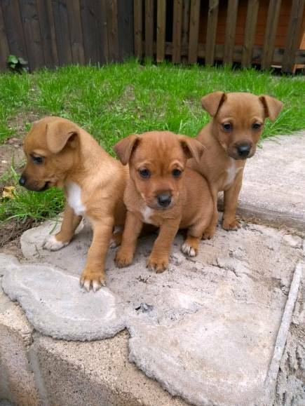 Jack Russell Puppies   in Lydney, Gloucestershire   Gumtree