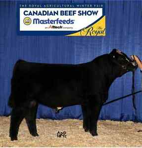 Purebred Simmental Bull Kawartha Lakes Peterborough Area image 1