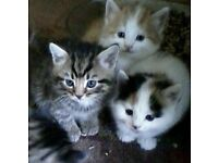 THREE FEMALE CATS FOR SALE