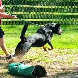 Security Trained Male Rottweiller Ipswich Ipswich City Preview