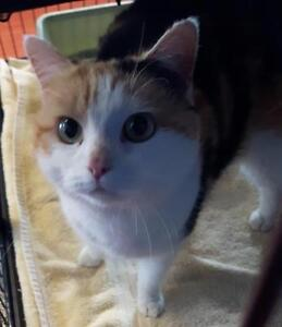 "Adult Female Cat - Domestic Short Hair: ""Violet"""