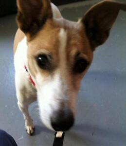 """Adult Male Dog - Jack Russell Terrier: """"11902"""""""