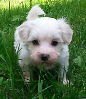 MALTIPOO SPECIAL CONDITION