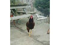 Mix aseel chicken