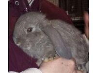French lop bunnies