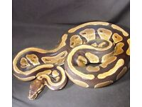 MALE ROYAL PYTHON FREE TO GOOD HOME