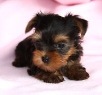Looking for a Teacup Yorkie
