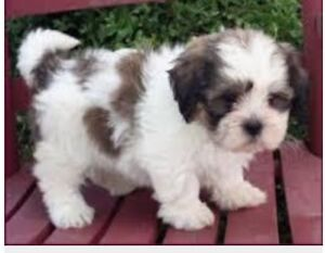 WTB Shih Tzu, x'd or similar Murray Bridge Murray Bridge Area Preview