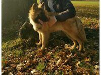 German Shepherd x Staff